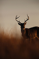 WHITETAIL BUCK SILHOUETTE