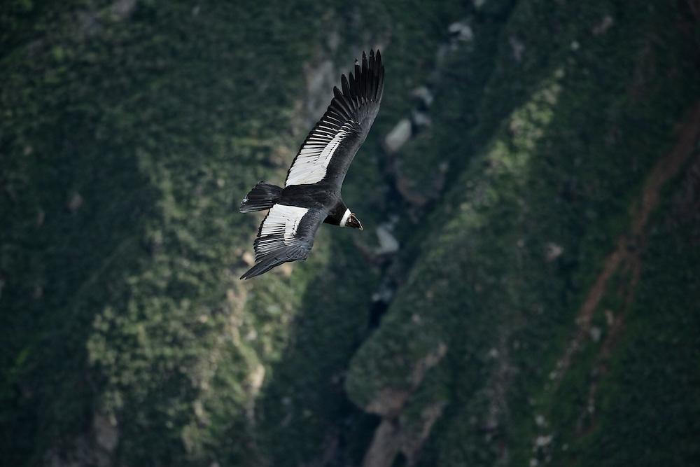 South America; Peru; Colca Canyon, soaring condor