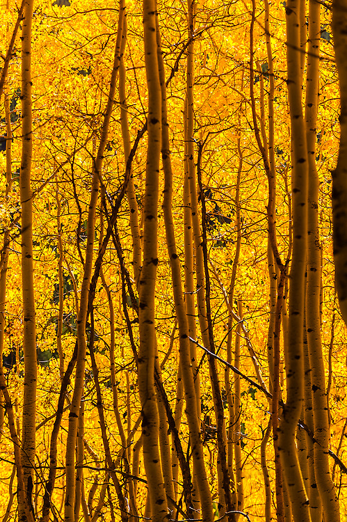 A grove of aspen trees in autumn, 11,814 foot Ophir Pass, southwest Colorado USA.