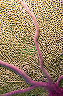 Alberto Carrera, Sea Fan, Sea Whips, Gorgonian, Red Sea, Egypt