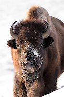 Bison im Yellowstone Nationalpark, USA