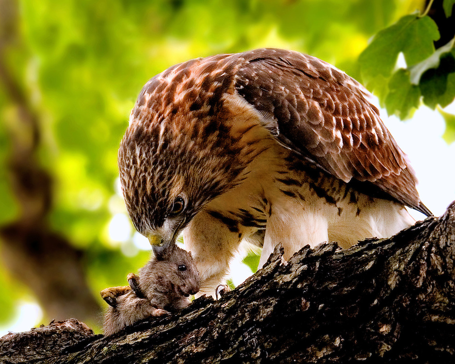 A red tailed hawk that made a ground capture of a rat, and then flew into a nearby tree to make a rather gruesome kill.