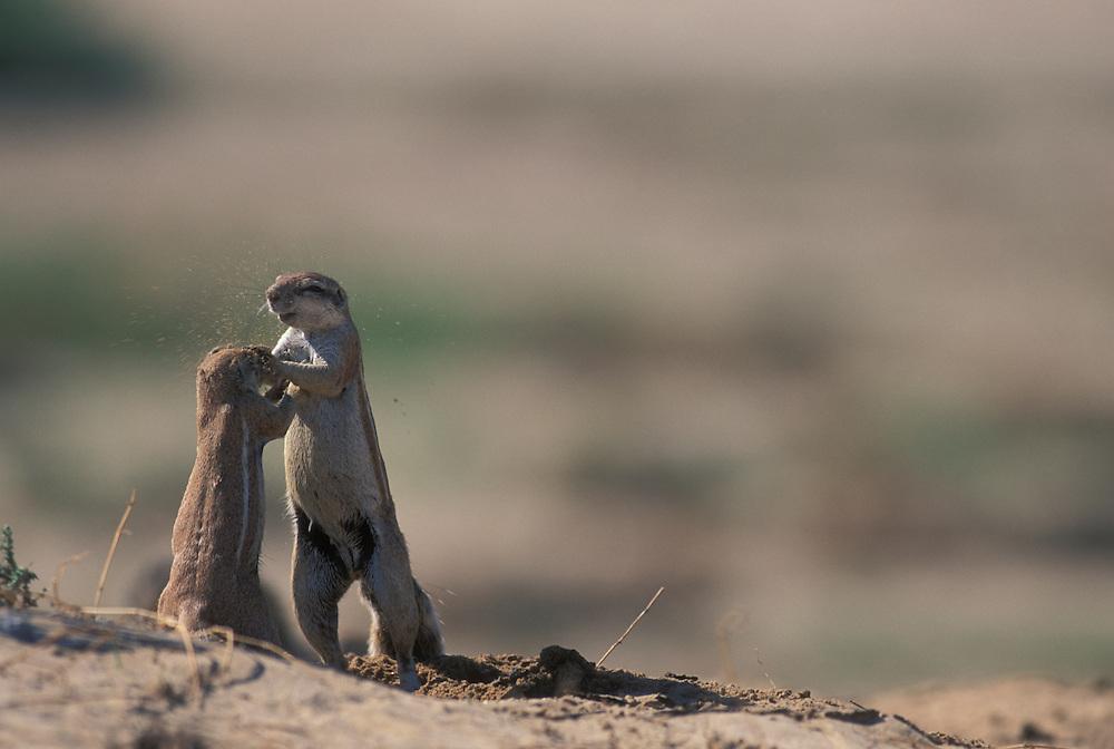 South Africa, Kgalagadi Transfrontier Park, Cape Ground Squirrels (Xerus inauris) wrestle in desert while feeding