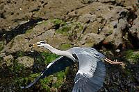 Gray Heron flying with an eel dinner near Malahide, Ireland