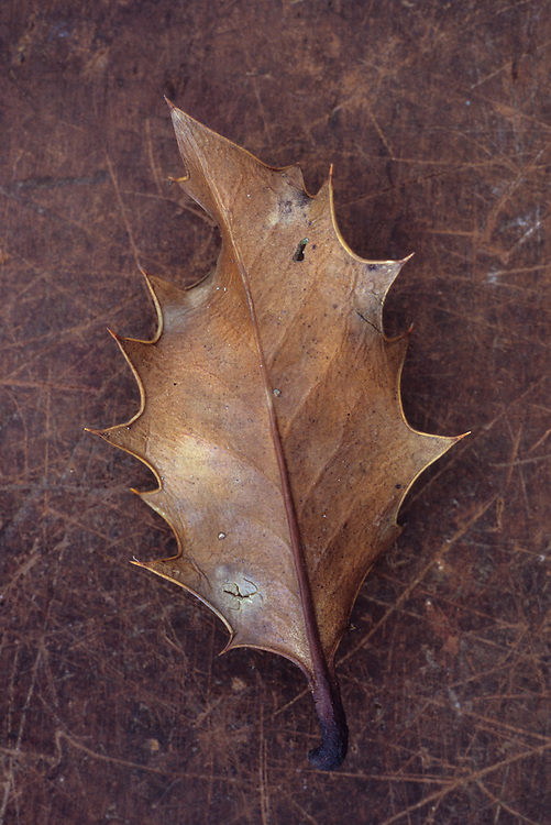 Dried brown leaf of Holly or Ilex aquifolium tree with its sharp thorns lying on scuffed leather