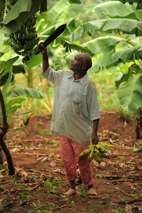 """KIROKA, TANZANIA -  13-11-02  -  Farmer Rajabu Juma, 60, examines a cluster of bananas at a plantation on November 2. An FAO project to strengthen capacity of farms for climate change is underway in Kiroka, Tanzania. """"It's something we may call climate-smart agriculture,"""" says mission project co-ordinator Prof. Henry Mahoo, who teaches at the Sokoine University of Agriculture. The project aims to improve land and water management, promote climate resilient agriculture and encourage dialogue and understanding regarding climate change adaptation practices.   Photo by Daniel Hayduk"""
