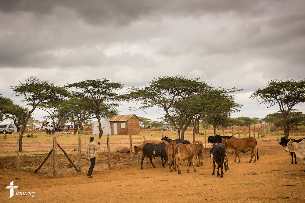 A farmer leads his cattle along the fence of the Lenkishon ELCK (Evangelical Lutheran Church in Kenya) Project 24 construction site on Saturday, June 25, 2016, in Lenkishon, Kenya.  LCMS Communications/Erik M. Lunsford