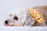 Dandie dinmont Terrier wearing a yellow Bandana with pink dots, lying down looking relaxed. Isolated on white backdrop