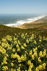 California: Yellow lupines at Point Reyes National Seashore near San Francisco. Photo copyright Lee Foster. Photo # casanf81220
