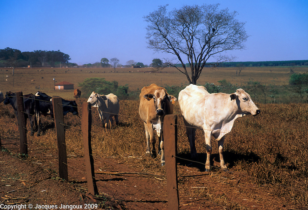 Cattle in pasture in cerrado (savanna) region during dry season, Minas Gerais State, Brazil
