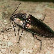 Buprestoidea - Metallic Wood Boring Beetle. Unkown species, Chaloem Phrakiat Thai Prachan National Park, Thailand.