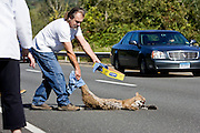 Thomaston, Conn. - Sept. 20, 2009 - Al Wesolowski of Torrington moves an injured bobcat out of the way of vehicles on Route 8 southbound in Thomaston on Sunday morning as several concerned motorists pulled over to prevent the animal from further injury. Though the state police had been called but not yet arrived, and Wesolowski risked getting bitten, Wesolowski, the owner of a currently ill 23-year-old house cat, said he did not want to see the animal, who had no control of its hind legs and was visibly in pain, suffer any more than it had already..Josalee Thrift Photo