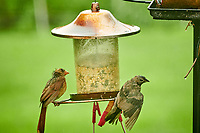 Northern Cardinal, Brown-headed Cowbird. Image taken with a Nikon D850 camera and 200 mm f/2 lens