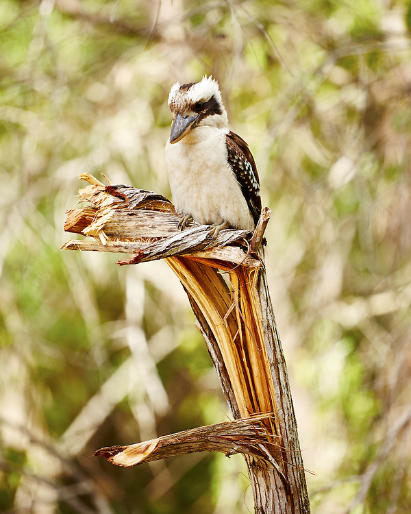 An Australian Kookaburra perches atop a splintered tree trunk.