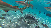 Swimming with sharks and Stingrays,Tiahura, Moorea, French Polynesia