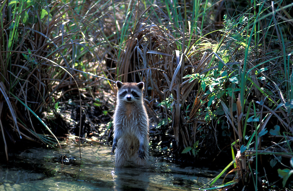 Racoon standing in water (Procyon lotor) Florida, USA