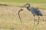 Great Blue Heron, 10-31-14