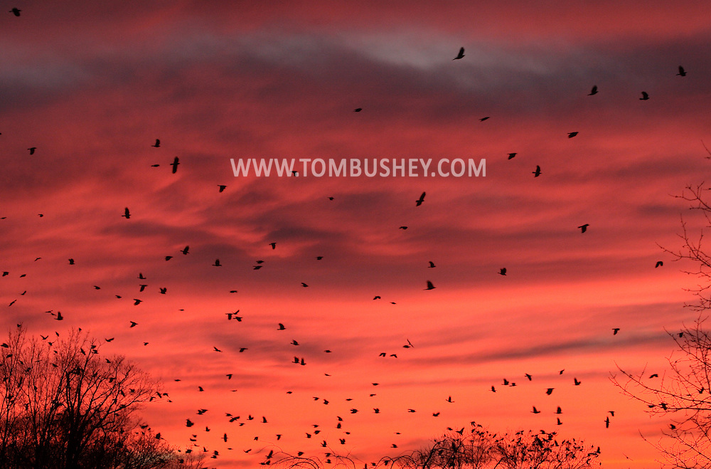 Middletown, NY - Crows gather at sunset before flying off to their roosting site on Dec. 28, 2008.