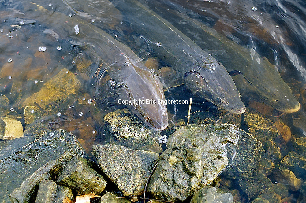 Lake Sturgeon spawning in Wolf River, Wisconsin<br /> <br /> Engbretson Underwater Photography