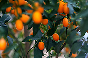 kumquat fruit (Citrus japonica) on a tree