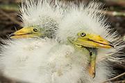 Cattle Egret Chicks on their nest