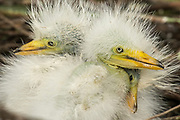 Cattle Egret Chicks on their nest
