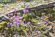 blooming Wildflower. Photographed in the Pyrenees Mountains Spain