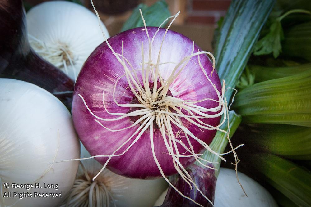 Purple onion roots at public market in Saint-Jean-sur-Richelieu, Quebec, Canada