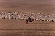 Mongolia. cattle breeders in the steppe care coming from the Gobi desert after two months of travel ; to the capital to sell their livestock