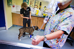 Nurse and surgeon prepare a boxer dog for a procedure at Rushcliffe Veterinary Surgery, Nottingham, UK.