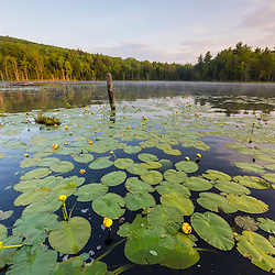 Yellow pond lillies, Nuphar lutea, fill a beaver pond in Barrington, New Hampshire.