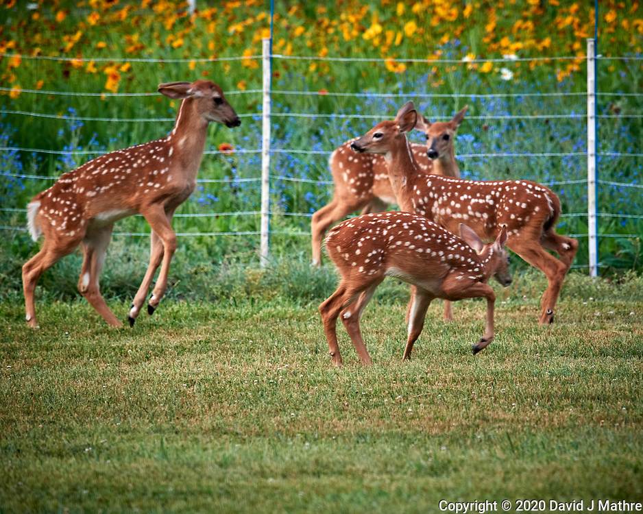 Conflict at the Deer Daycare Playground. Image taken with a Nikon D5 camera and 600 mm f/4 VR lens (ISO 1600, 600 mm, f/5.6, 1/320 sec).