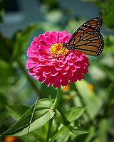Monarch Butterfly on a Zinnia Flower. Image taken with a Fuji X-H1 camera and 80 mm f/2.8 macro lens (ISO 200, 80 mm, f/4, 1/1000 sec).