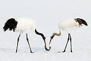 JAPAN, Eastern Hokkaido.Red-crowned cranes (Grus japonensis) competing for a fish.(IUCN 2010: Endangered)