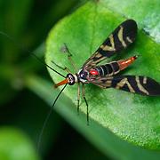 Female Carnivorous Scorpionfly, Neopanorpa harmandi, in Thailand's Khao Kieo-Khao Chompoo wildlife sanctuary.