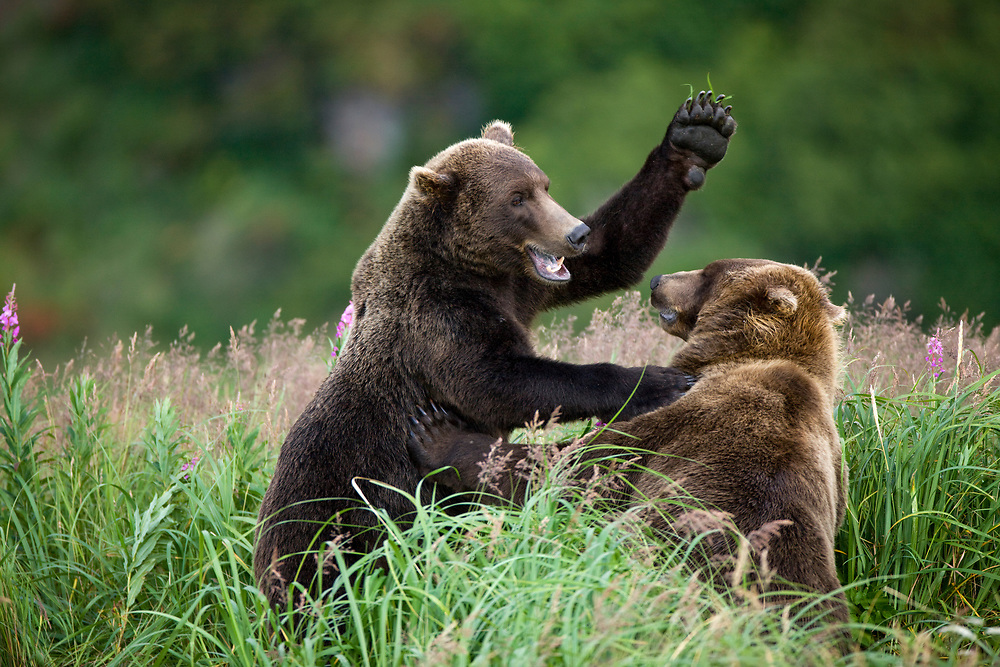 USA, Alaska, Katmai National Park, Kukak Bay, Brown Bears (Ursus arctos) sparring in tall grass and  fireweed in late summer