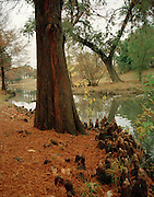 """Large cypress tree and cypress knees beside San Felipe Creek on a misty day in Del Rio, Texas. NOTE: Click """"Shopping Cart"""" icon for available sizes and prices. If a """"Purchase this image"""" screen opens, click arrow on it. Doing so does not constitute making a purchase. To purchase, additional steps are required."""