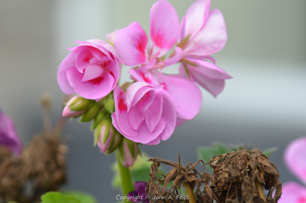 These pink flowers are quite small and delicate looking.  Outside the Belleek factory, County Mayo, Northern Ireland