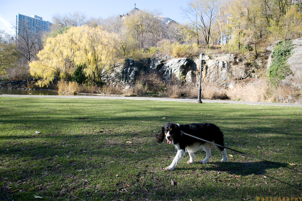 Mazy Henderson the dog is photographed at her home and in Morningside Park in New York City on December 16, 2011. ..Photograph by Angela Jimenez .Angela Jimenez Photography.www.angelajimenezphotography.com