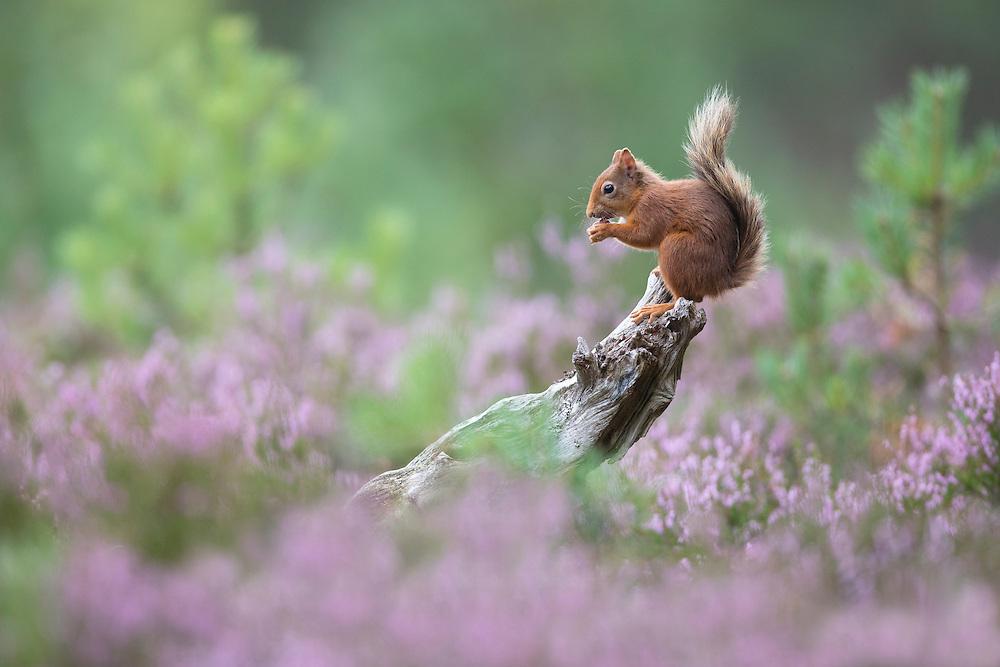 Red squirrel (Sciurus vulgaris) foraging in summer, Scotland.