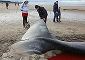 Beached pilot whale Hunstanton Norfolk