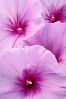 Close-up pattern of morning glory flowers.