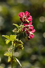 Donkere ooievaarsbek, Geranium phaeum