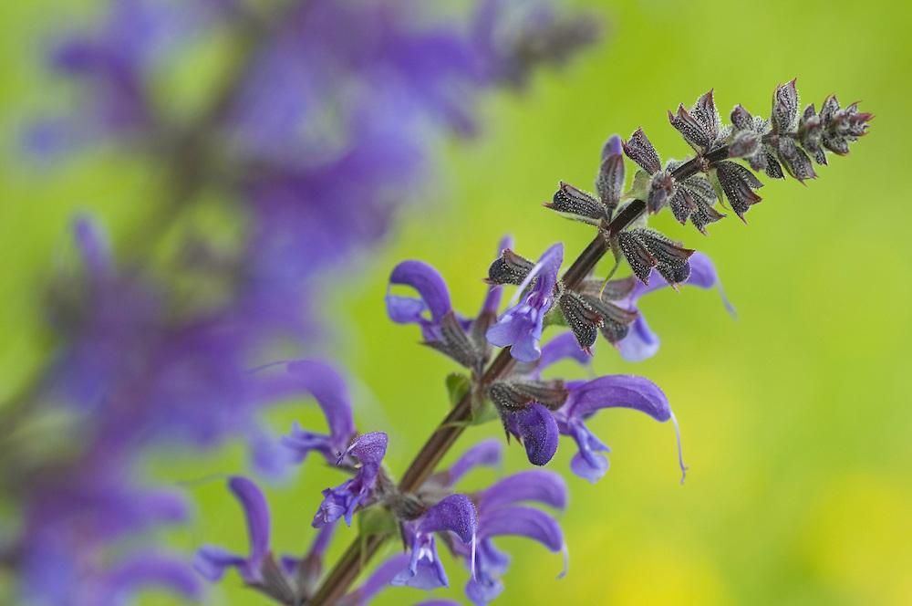 Salvia pratensis; Meadow clary, Ruggellerriet, Liechtenstein