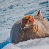 Alberto Carrera, Bearded Seal, Erignathus barbatus, Arctic, Spitsbergen, Svalbard, Norway, Europe