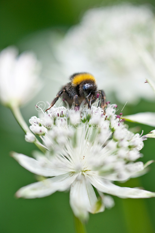 Astrantia major (masterwort) with Buff-tailed bumble bee (Bombus terrestris)