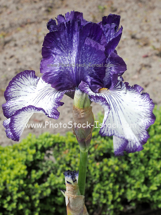 blooming iris in a garden. Photographed in Madrid Botanical Gardens