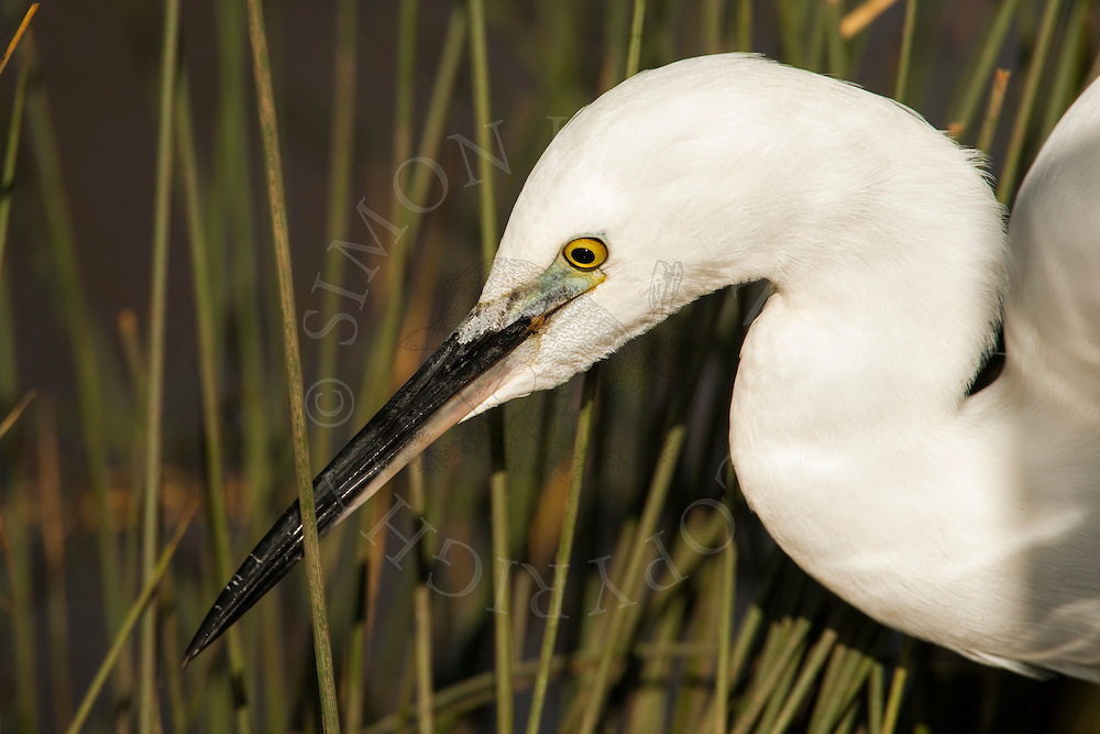 Little Egret (Egretta garzetta) adult hunting, close up of head Norfolk, England