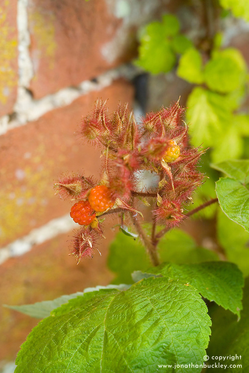 Japanese Wineberry - Rubus phoenicolasius