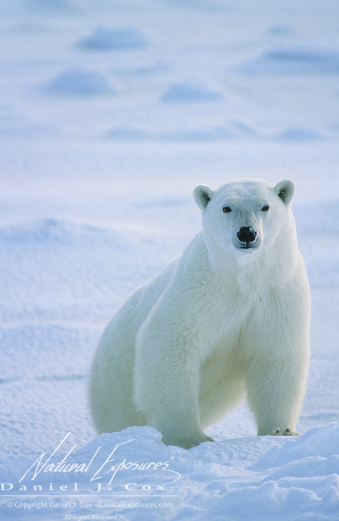 Polar Bear portrait of an adult waiting for Hudson Bay to freeze. Canada
